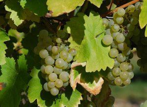сорт винограда Коломбар