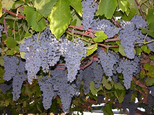 рецепт приготовления вина в домашних условиях из винограда изабелла