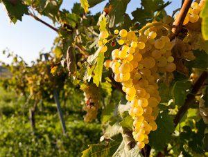 сорта винограда для коньяка