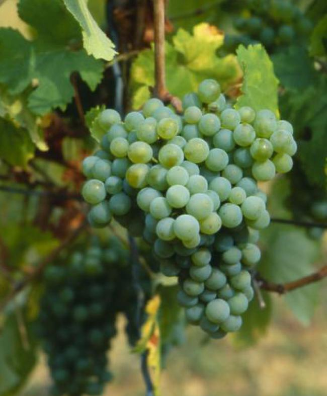 сорт белого вина