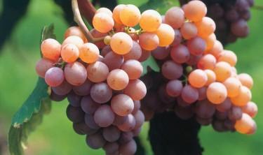 белое вино названия