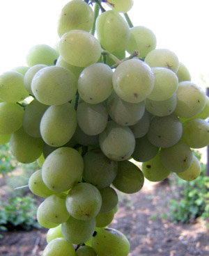 Агадаи Столовый сорт винограда